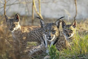 Ejemplares_lince_iberico
