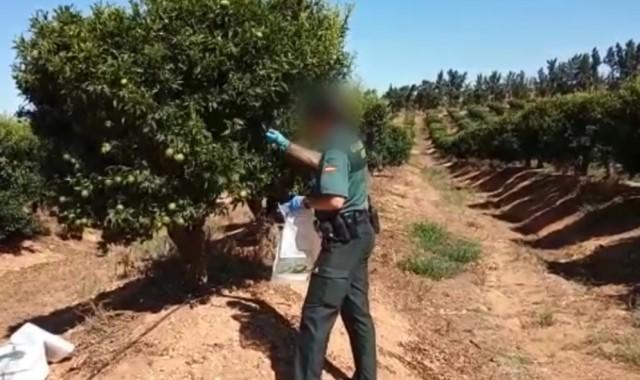 Investigado-por-cultivar-mandarinas-sin-patente-en-Cartaya-640x380