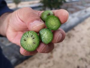 kiwiberry 2